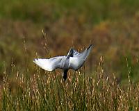 Whiskered Tern (Chlidonias hybrida). Parque Nacional de Donana. Image taken with a Nikon D4 camera and 80-400 mm VR lens.
