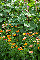 Organic pest control. Companion planting of Calendula 'Flashback' growing at the base of beans. Marigolds attract aphids and bugs away from crops.