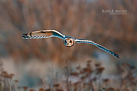 Short-eared owl hunting at dusk near Vancouver, British Columbia, Canada