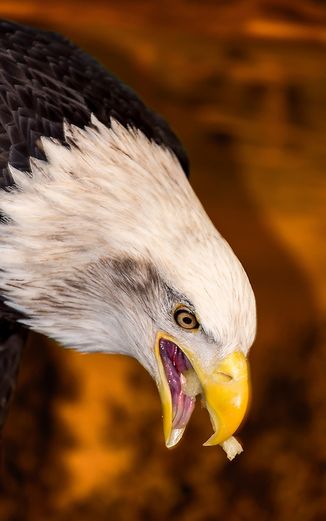 An American Bald Eagle with an Edgy Amber Attitude snacks on the last bit of a fish, remnants of fishy bone and flesh still visible on the tongue.