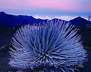 Endangered and endemic Haleakalā Silversword, Argyroxiphium sandwicense, Haleakala Wilderness, Haleakala National Park, Island of Maui, Hawaii.