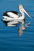 Cruising Pelican, Lake Macquarie, NSW, Australia