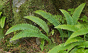 Ferns grow profusely on the verdant Lake Serene Trail in Mt. Baker-Snoqualmie National Forest, Washington, USA.