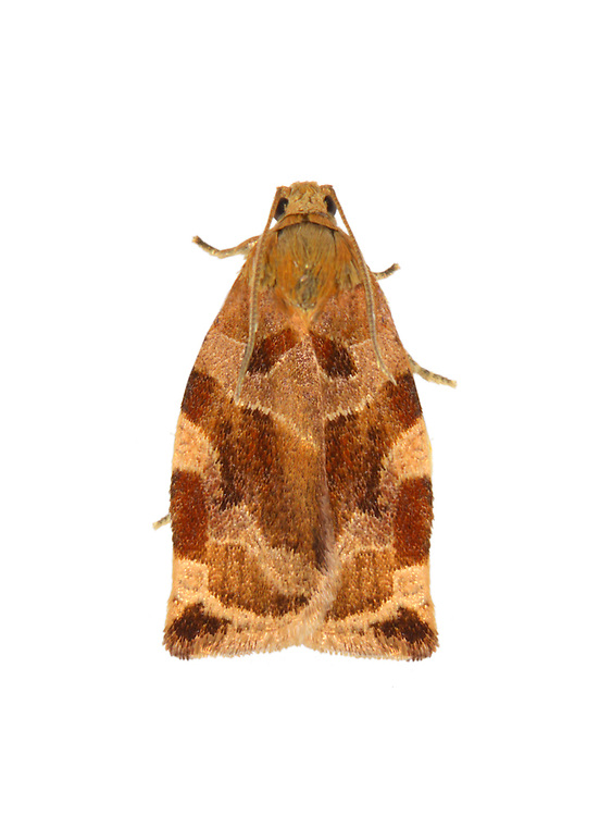 49.015 (0980)<br /> Variegated Golden Tortrix - Archips xylosteana