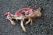 Road kill rabbit. Yorkshire, England, UK.