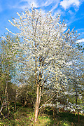 Wild Cherry Tree, Prunus avium, as Spring turns to Summer, United Kingdom