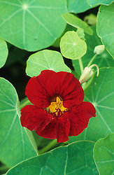 Tropaeolum majus 'Tip Top Mahogany' - Nasturtium