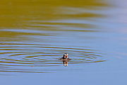 A pied-billed grebe (Podilymbus podiceps) chick swims by itself on a pond in the Union Bay Natural Area, Seattle, Washington.