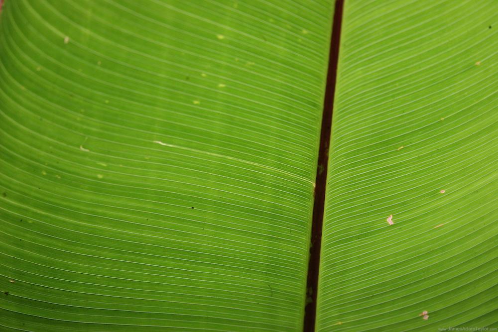 light illuminates the veins of a banana leaf, Monte Verde Biological reserve, Costa Rica.