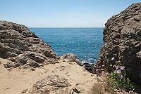 Seaside daisy, Erigeron glaucus, on the Pacific coast at Mendocino, California