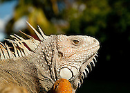 A close-up of the head of a green iguana on the Puerto Rican island of Culebra.