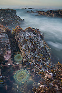 Sea Anemone on coastal rocks and waves at  low tide, near Pigeon Point,  San Mateo County coast, California