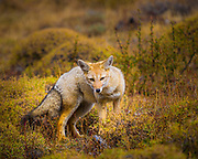 """Grey fox in Chile's Torres del Paine national park. The South American gray fox (Lycalopex griseus), also known as the Patagonian fox, the chilla, or the grey zorro, is a species of zorro, the """"false"""" foxes. The South American gray fox is found in the Southern Cone of South America, particularly in Argentina and Chile. Its range comprises a stripe, both sides of the Andes Mountain Range between parallels 17ºS (northernmost Chile) and 54ºS (Tierra del Fuego).<br /> <br /> In Argentina, this species inhabits the western semiarid region of the country, from the Andean spurs (ca. 69ºW) to meridian 66ºW. South from the Río Grande, the distribution of the fox widens reaching the Atlantic coast. In Chile, it is present throughout the country. Its presence in Peru has been mentioned; to date, however, there has been no confirmation of it. The South American gray fox was introduced to the Falkland Islands in the late 1920s early 1930s and is still present in quite large numbers on Beaver and Weddell Islands plus several smaller islands.<br /> <br /> The South American gray fox occurs in a variety of habitats, from the warm, arid scrublands of the Argentine Monte and the cold, arid Patagonian steppe to the forest of southernmost Chile."""