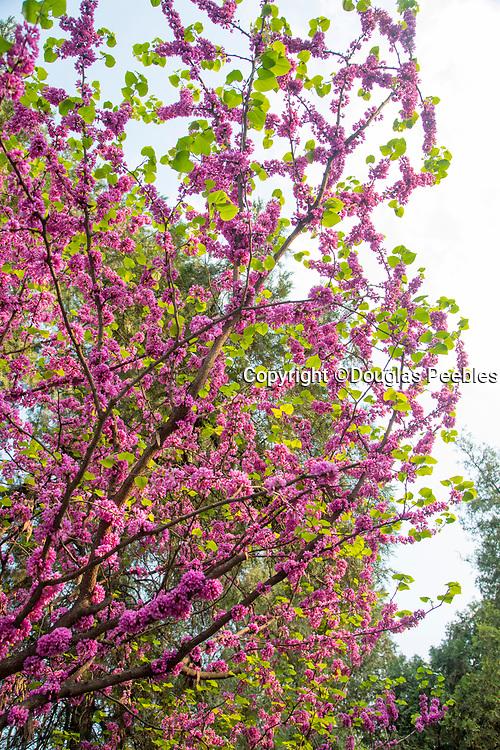 Cherry Blossom, Flower, Tree, Xian, Shaanxi Province, China