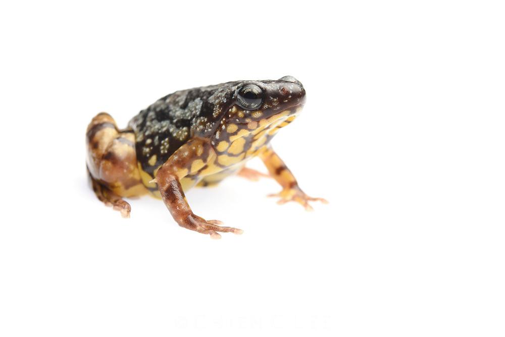 Saffron-bellied Frog (Chaperina fusca). Sarawak, Malaysia (Borneo).