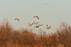 Sandhill cranes in flight (Grus canadensis) at Bosque del Apache National Wildlife Refuge, New Mexico, USA