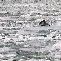 A harbor seal hauls out on an ice floe near the Holgate Glacier, in Kenai Fjords National Park, Alaska