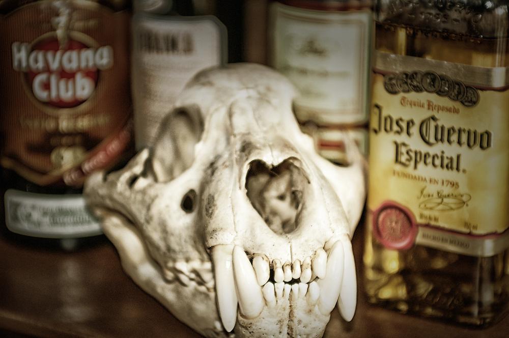 Jaguar skull.