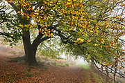 Colourful autumn leaves arch over a pathway & abandoned millstones in a misty Bolehill Quarry, Derbyshire, Peak District. October, 2014.