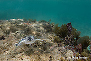 Australian flatback sea turtle hatchling swims across shallow reef on its way out to sea from nesting beach, Natator depressus , Torres Strait, Queensland, Australia