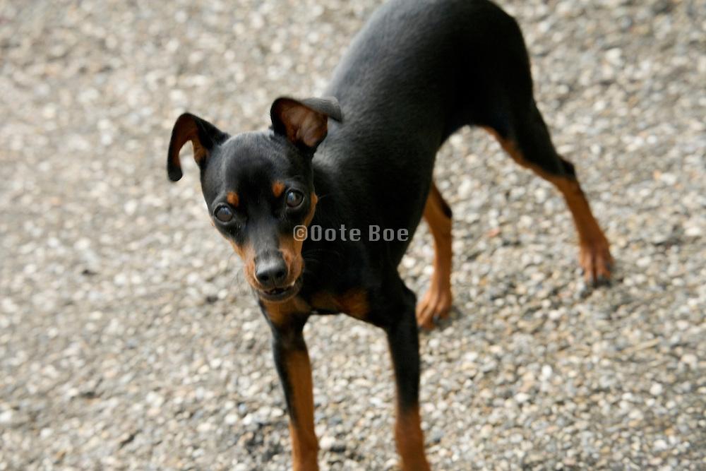 miniature pinscher in barking mode
