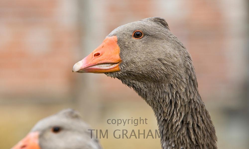 Toulouse goose, Gascony, France. Free-range birds may be at risk if Avian Flu (Bird Flu Virus) spreads