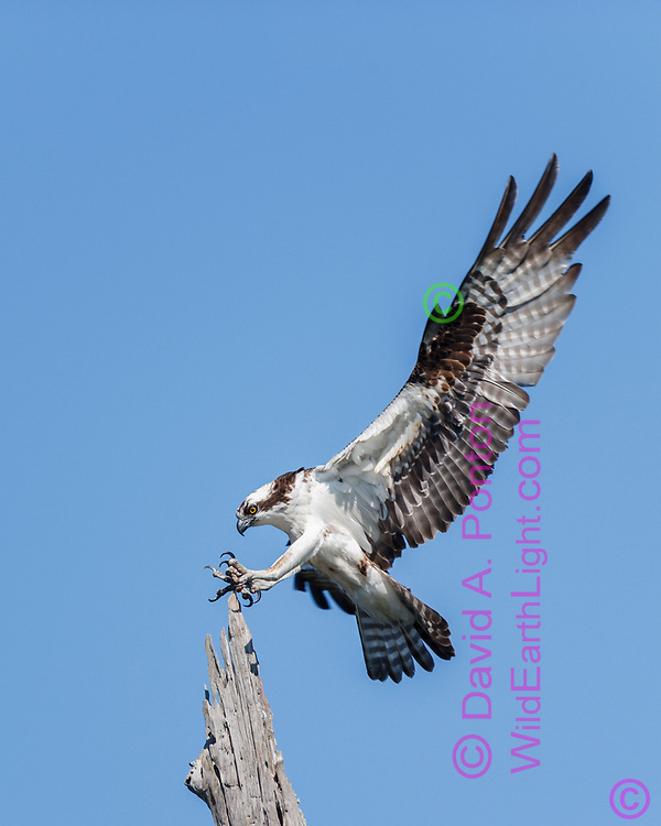 Osprey landing, talons spread ready to grip, Florida, © David A. Ponton