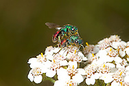 Jewel or Ruby-tailed Wasp - Hedychrum niemelai - male