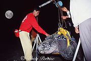 volunteers weigh a female leatherback sea turtle, Dermochelys coriacea, that came ashore to lay eggs; this one weighed 550 kg (1200 lbs), close to the maximum for the species, Mexiquillo Beach, Mexico ( Eastern Pacific )