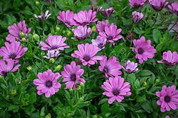 Osteospermum 'Serenity Pink' - African daisy