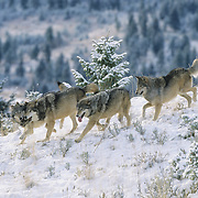 Gray Wolf pack in the Rocky Mountains of Montana. Captive Animal