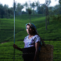 A pregnant Tea Plucker at work on a tea estate...Sri Lanka is a world leader in tea export, and its tea is considered among the best in the world. British colonists transported thousands of Tamil people from South India under brutal conditions for indentured labour on the plantations. Presently, strong unions and greater awareness of rights has somewhat improved the conditions of tea estate workers who live and work on tea estates. Women form the majority of the workforce and are 'trapped' at the lower end of the labour hierarchy. Female tea-pluckers have to juggle labour with sole-responsibility for family and household-care, normally working 14 hours a day...Picture Michael Hughes/Maverick