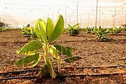 Israel, Jordan Valley, Kibbutz Ashdot Yaacov, Newly planted young banana plants in a Banana Plantation. Drip irrigation system can be seen