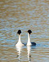 A pair of Western Grebes, Aechmophorus occidentalis, performs a mating dance on Upper Klamath Lake, Oregon