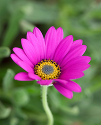 Osteospermum 'In the Pink'