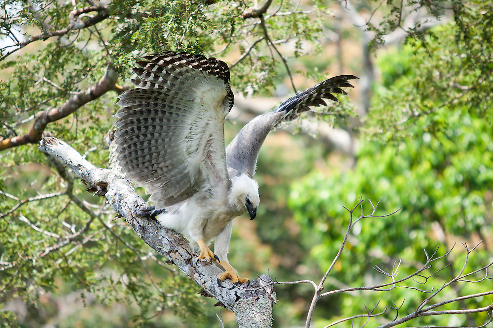 Parintins_AM, Brazil.<br /> <br /> Still having juvenile plumage, this harpy eagle nestling already shows beneath its wings the standard colors gray and white that identify this species. <br /> Parintins, Amazonas, Brazil.<br /> <br /> Foto: JOAO MARCOS ROSA / NITRO