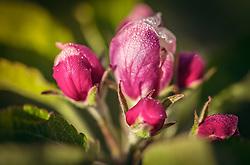 THEMENBILD - Tautropfen auf einer Apfelblüte im Morgenlicht, aufgenommen am 02. Mai 2019, Kaprun, Österreich // Dew drops on an apple blossom in the morning light on 2019/05/02, Kaprun, Austria. EXPA Pictures © 2019, PhotoCredit: EXPA/ Stefanie Oberhauser