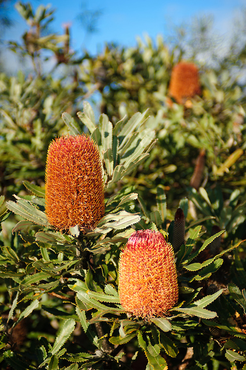 Stock photograph of Banksia blossoms in the Outback of Western Australia