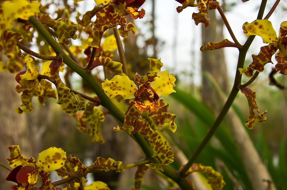 The fantastically mottled and twisted flowers of the cigar orchid in a massive display deep in the Big Cypress National Preserve. This is by far the largest one I've found, and hopefully will provide plenty of seeds for this orchid to recover after decades of poaching.