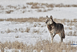 Alpha Wolf, Canyon Pack, 712m, Hayden Valley, Yellowstone National Park.<br /> <br /> 30 megabyte, max print size 16X24