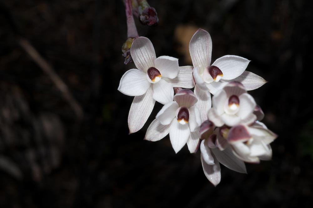 Sunorchid, Thelymitra longifolia