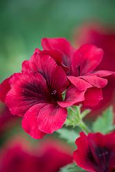 Pelargonium 'Dark Venus'