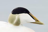 10.06.2008.Common eider (Somateria mollissima) male, close-up.Jökulsárlón glacial lagoon.Iceland