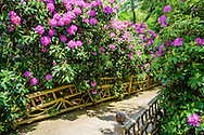 Rhododendron, Garden Path, Further Lane, East Hampton, NY