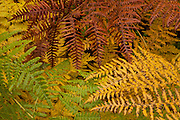 Bracken ferns (Pteridium aquilinum) display a variety of fall colors on a bluff above Deception Creek near Stevens Pass, Washington.