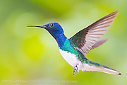 A White-necked Jacobin Hummingbird, Florisuga mellivora, photographed in Trinidad, southern Caribbean Image available as a premium quality aluminum print ready to hang.