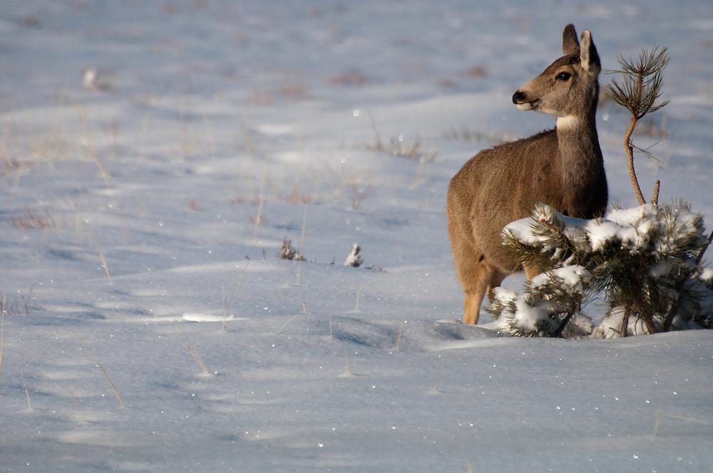 A doe on a crisp morning in Buena Vista, Colorado.