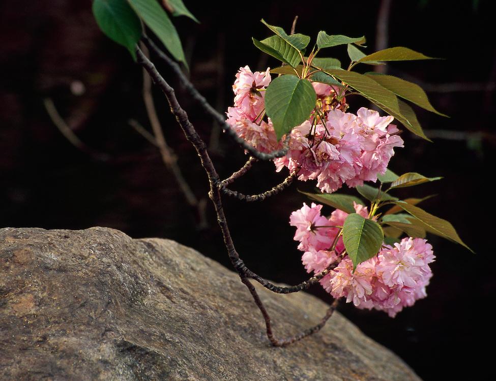 Cherry Blossoms, Brooklyn Botanic Garden, Brooklyn, New York, Japanese Hill and Pond Garden, Blossom Branch touching rock