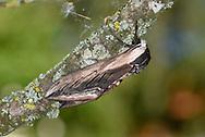 Privet Hawk-moth - Sphinx ligustri