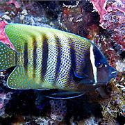 Six Banded Angelfish inhabit reefs. Picture taken Palau.